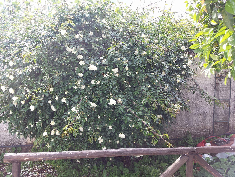 Tutori Per Rose Rampicanti potiamo le rose rampicanti | imparardinaggio