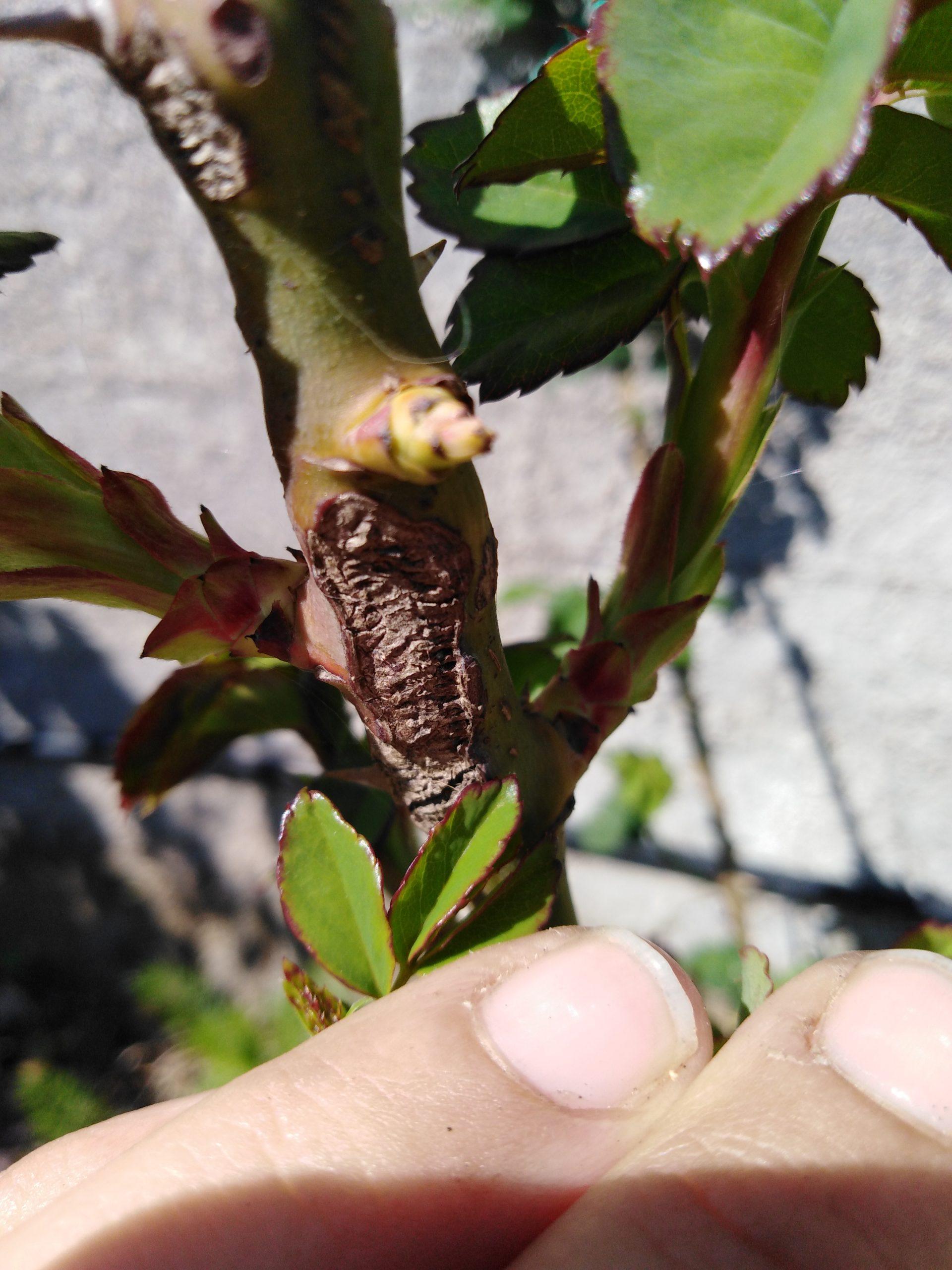 Combattere Afidi Delle Rose argidi i nemici delle rose | imparardinaggio parassiti temibili